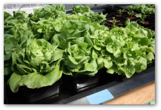 Indoor Vegetable Gardening  Home Design Elements