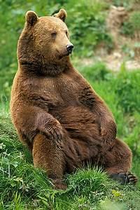 bear sitting - Google Search | Animals | Pinterest | Bears ...