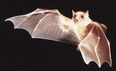 Mammifero Volante Il Pipistrello Nei Sogni