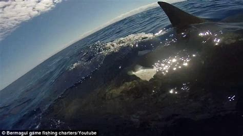 Fishing Boat Deckhand by Shows Five Metre Great White Shark Brushing Against