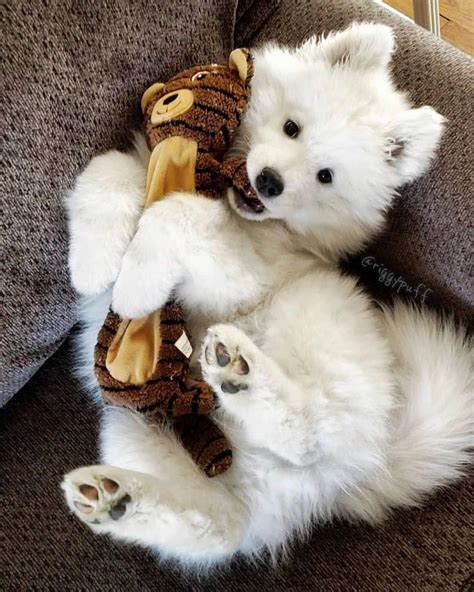 Samoyed Page On Instagram Cuteness Overload
