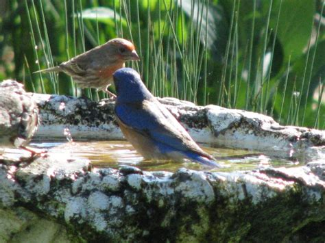 why finches turn red and other interesting animal dating
