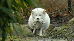 Beautiful Wallpaper: Pretty White Fox Wallpapers