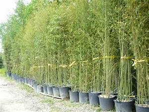 Bambous En Pot : vos bambous et vous vos questions vos photos ici ~ Melissatoandfro.com Idées de Décoration