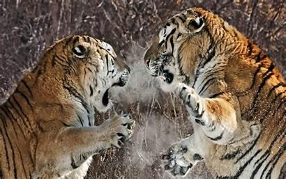 Fighting Tigres Lucha Entre Siberian Tiger Tigers