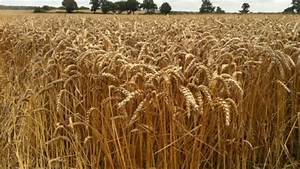 Wheat crop is struggling to grow because of high water ...