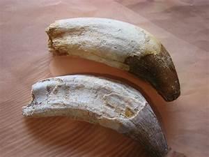 Basilosaurus teeth? How do we tell the real ones? - Fossil ...