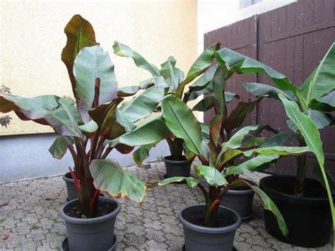 musa basjoo kaufen winterharte banane musa basjoo und rote banane ensete ventricosum maurelii versch gr 246 223 en
