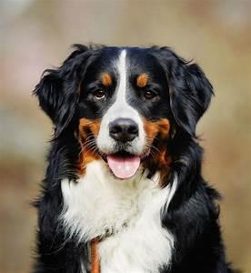 Berner Sennenhund Gewicht : berner sennenhund berner machen gl cklich ~ Markanthonyermac.com Haus und Dekorationen
