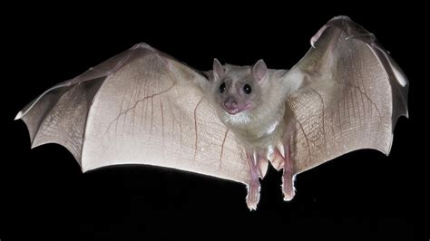 The World's Largest Bat Also Known As The Flying Fox Is