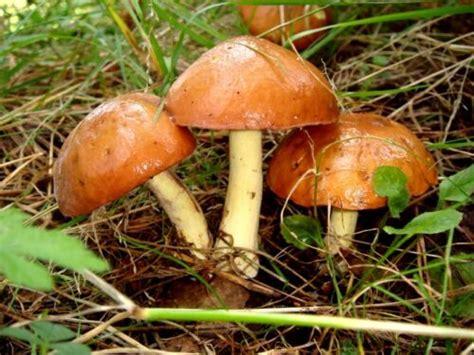 Pilze Die Im Garten Wachsen by Diese Pilze Wachsen Im Eigenen Garten Ebay