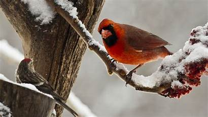 Birds Nature Cardinals Cardinal Snow Desktop Backgrounds