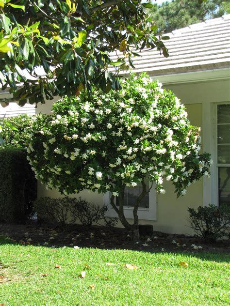 gardenia in a pot poppyspace val s gardenia tree