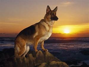 German Shepherd dogs and puppies: February 2012