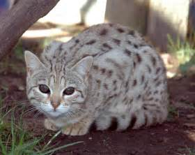 bengal cat for bengal cat one of the world s most expensive cat