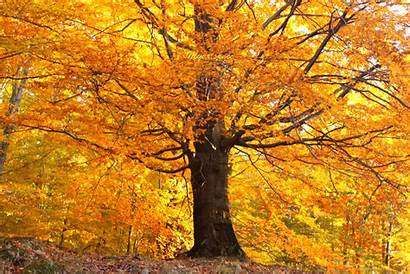 Autumn Gold Tree Trees Golden Leaves Fall