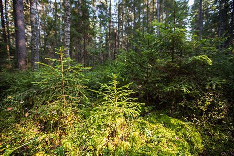 Jaunaudžu kopšana - Ziemeļlatvijas mežsaimnieks