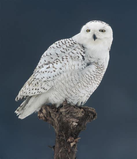 information   world snowy owl