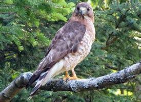 broad winged hawk identification   birds