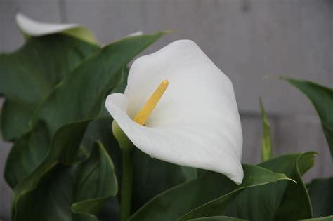 z aethiopica gallianmachi zantedeschia aethiopica