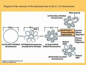 Ppt - Chromosomes Powerpoint Presentation