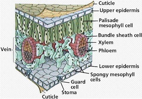 leaf diagram sbi3u plants pinterest