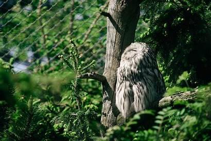 Looking Owl Birds Trees Spruce Leaves