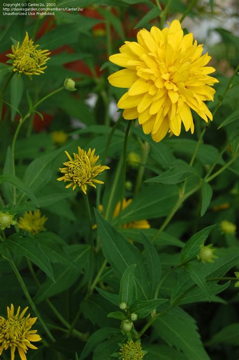 plantfiles pictures rudbeckia cutleaf coneflower double