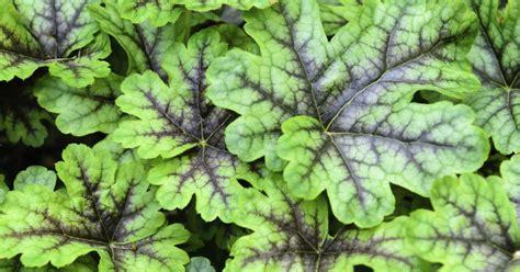 groenblijvende bodembedekker voor  de tuin ook voor