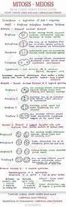 Mitosis And Meiosis Venn Diagram