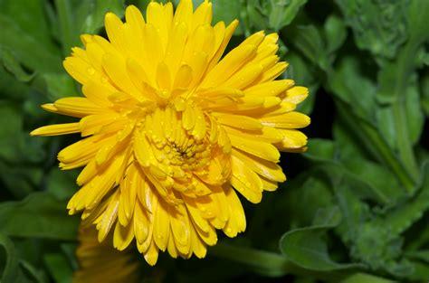 insecte cuisine 5 fleurs pour apporter de la couleur à votre potager en carrés