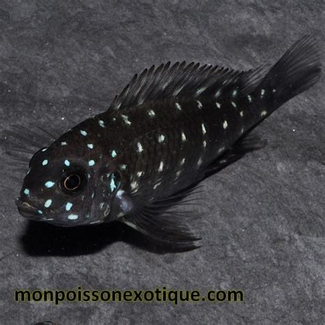poisson lac tanganyika aquarium tropheus duboisi pm 2 3cm cichlides africains cichlides lac tanganyika monpoissonexotique