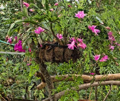 tanaman gantung hias zygocactus bunga plants garden