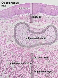 Bgdb Practical - Upper Gastrointestinal Tract Histology