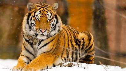 Tiger Wild Animal Siberian Sleepy Mobile Wallpapers