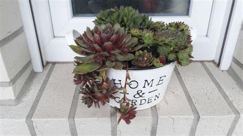 dachrosen pflanzen und dekorativ einsetzen