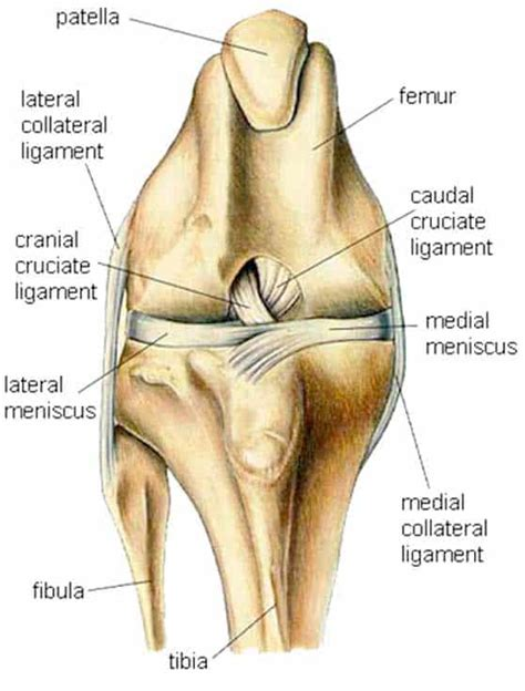 ruptured anterior cruciate ligament acl  pets dogs