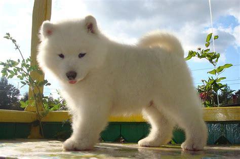 grand bureau blanc chiot mignon samoyède regarder milieux hd races de chiens