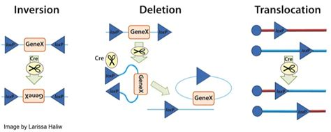 plasmids  cre lox