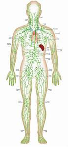 Lymphatic System Diagram Labeled