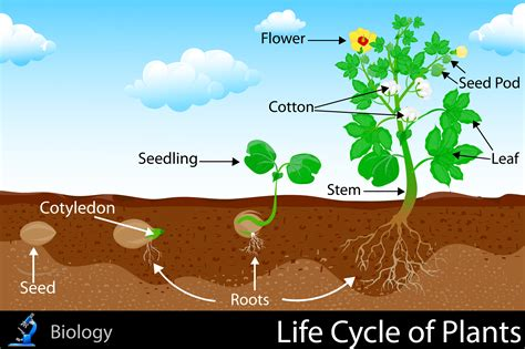 Life Cycle Of Plants Kidspressmagazinecom