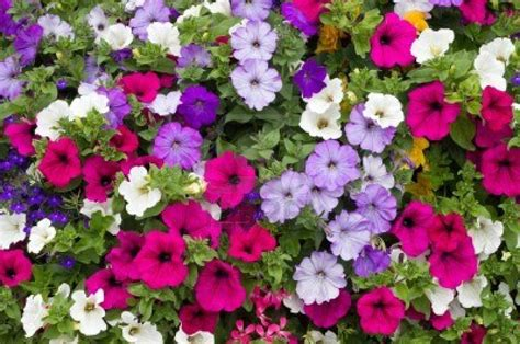petunia garden petunia dwaft mix color 5000 seeds flowers great ground cover ebay