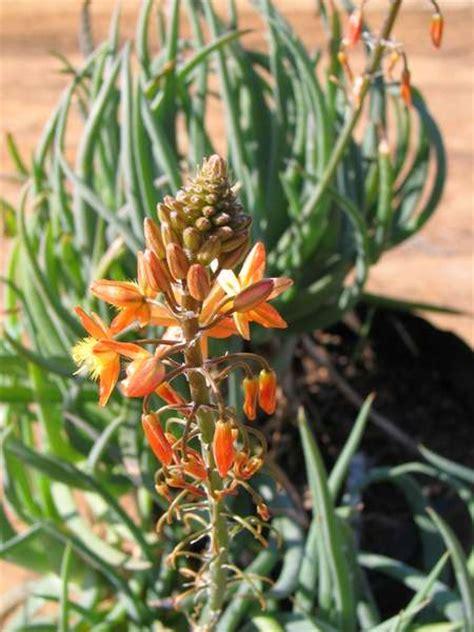 bulbine orange bulbine frutescens