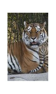 Russia home to last population of wild Amur tigers in the ...