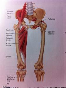 5  Muscles Of The Hip And Thigh At Temple University