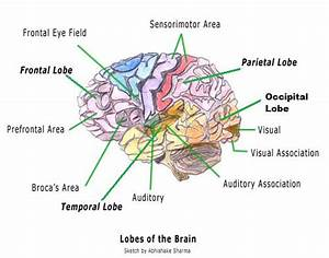 Diagram Of The Brain And Its Functions