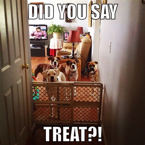 Funny Boxer Dog Memes - funny boxer meme silly boxers bestfriends pinterest