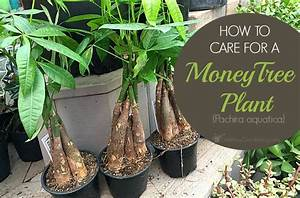 money plant care guide how to take care of a money tree plant With how to take care of a garden