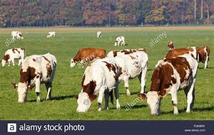 Red and white Holstein cows on farmland in Holland Stock ...