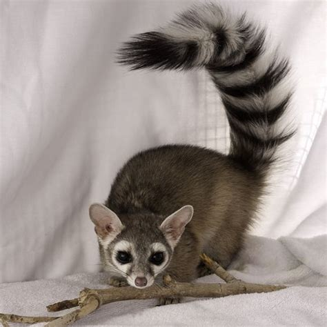 Ringtail Cat in 2020 Animals Unusual animals Cute animals